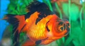 Peixes ornamentais são atração de feira no ABC