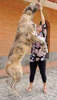 Moradora do ABC é dona do maior cão do Brasil